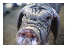 Świnia maskowa